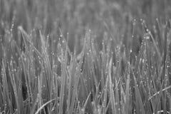 Gota da água da grão do arroz vista-monocromática foto de stock