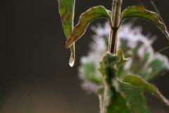 Gota da água da névoa do amanhecer na ponta da folha, imagens de stock royalty free