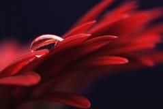 Gota da água na flor Fotografia de Stock Royalty Free