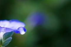 Gota da água na flor da corriola do anão Imagens de Stock