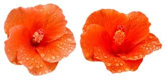 Gota da água na flor do hibicus fotos de stock royalty free