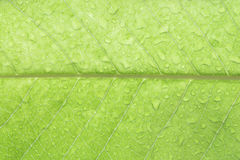 Gota da água na folha branca do champaca Foto de Stock