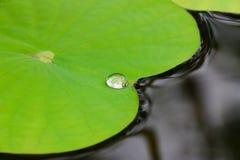 Gota da água na folha dos lótus Imagens de Stock