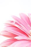 Gota da água na margarida cor-de-rosa imagens de stock