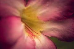 Gota da água nas pétalas cor-de-rosa Fotografia de Stock Royalty Free