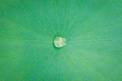 Gota da água no centro da folha dos lótus Imagem de Stock