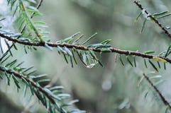 Gota da chuva em um galho Fotos de Stock Royalty Free