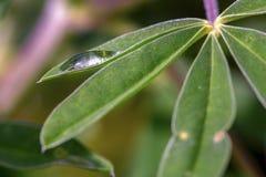 Gota da chuva em uma folha lupine da planta fotos de stock
