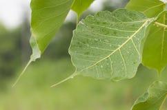 Gota da folha do verde da árvore de Bodhi da água Fotografia de Stock Royalty Free