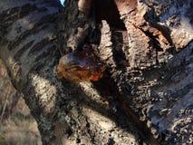 Gota da resina do pinheiro como o âmbar amarelo na casca queimada escura fotos de stock royalty free