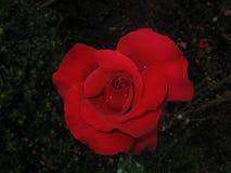 Gota de água na rosa do vermelho Imagem de Stock