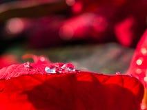 Gota de agua en la hoja roja Fotografía de archivo