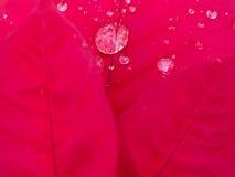 Gota de agua en la hoja roja Fotografía de archivo libre de regalías