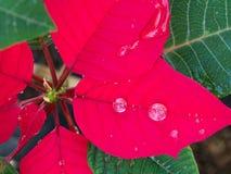 Gota de agua en la hoja roja Imagen de archivo