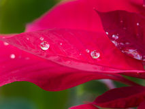 Gota de agua en la hoja roja Imagenes de archivo