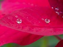 Gota de agua en la hoja roja Fotos de archivo