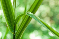 Gota de agua en las hojas de bambú Fotos de archivo libres de regalías