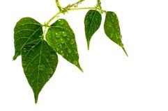 Gota de agua en las hojas verdes Foto de archivo libre de regalías