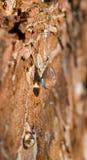 Gota de la resina del pino Foto de archivo libre de regalías