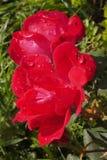 Gota de lluvia del witth de la rosa del rojo Fotos de archivo