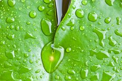 Gota de lluvia en la hoja del loto Fotos de archivo libres de regalías