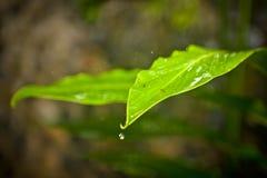 Gota de lluvia que baja de una hoja Imágenes de archivo libres de regalías