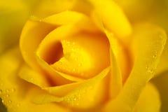 Gota de orvalho chinensis cor-de-rosa do jacq de rosa da porcelana amarela Foto de Stock Royalty Free