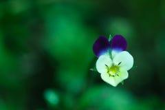 Gota de orvalho do amor perfeito Imagem de Stock Royalty Free