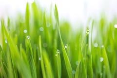 Gota de orvalho em wheatgrass frescos com bokeh da natureza, para o backg da natureza Fotografia de Stock Royalty Free