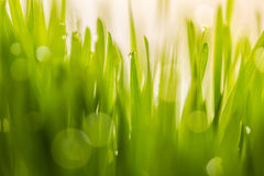 Gota de orvalho em wheatgrass frescos com bokeh da natureza, para o backg da natureza Fotos de Stock Royalty Free