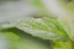 A gota de orvalho na folha verde Foto de Stock Royalty Free