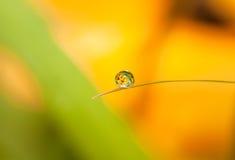 Gota de orvalho redonda (gota) com reflexão da flor em pouca folha Imagens de Stock