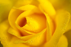Gota de rocío chinensis color de rosa del jacq de Rosa de China amarilla Foto de archivo libre de regalías