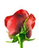 Gota de rocío color de rosa del rojo Fotos de archivo libres de regalías
