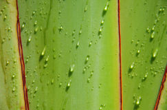 Gota del agua en el árbol de las hojas de ruta (traveler) Imagen de archivo libre de regalías