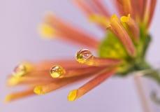 Gota del agua en la flor Foto de archivo libre de regalías