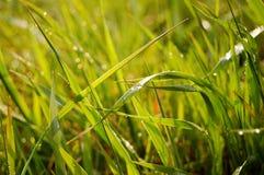 Gota del agua en la hierba Imagen de archivo libre de regalías