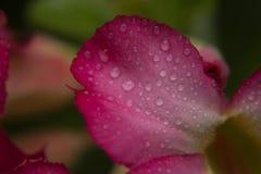 Gota del agua en los pétalos rosados Imágenes de archivo libres de regalías