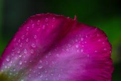 Gota del agua en los pétalos rosados Imagen de archivo libre de regalías
