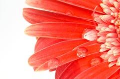 Gota del agua en margarita Foto de archivo libre de regalías