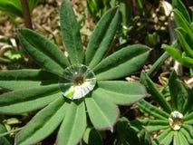 gota do orvalho nas folhas de uma flor Fotografia de Stock Royalty Free