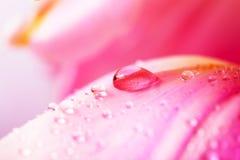 Gota hermosa del agua en los pétalos rosados. Foto de archivo libre de regalías