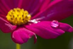 Gota macro da água da flor Foto de Stock