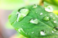 Gota nas folhas Imagens de Stock