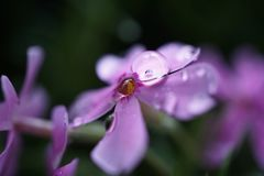 Gotas cor-de-rosa da flor imagem de stock royalty free