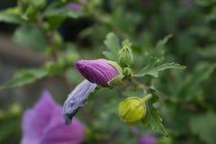 Gotas da água após uma chuva em um botão violeta de uma não-florescência fotografia de stock