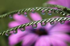 Gotas da água com africano Daisy Flower Reflection, macro Imagens de Stock