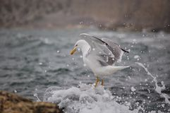 Gotas da água da gaivota Foto de Stock Royalty Free