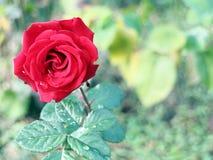 Gotas da água da rosa e da folha do vermelho Imagens de Stock