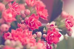 Gotas da água em flores e nos botões vermelhos de Kalanchoe Macro Modo da mola toning imagens de stock